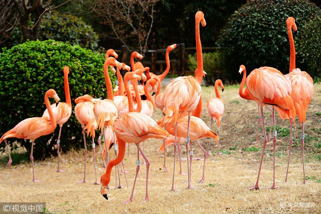 山东青岛森林野生动物世界,火烈鸟在园中嬉戏觅食,尽情享受明媚的