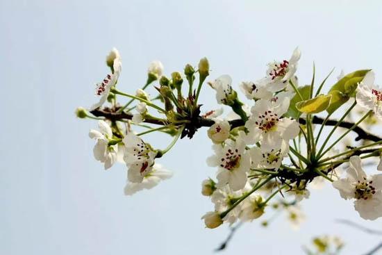 春日游,杏花吹满头   当我们徜徉在花海,欣赏它的灿烂时,   还要记得它们也是美味的食材哦~   现在,小威就给大家介绍几种能吃的鲜花~   1.桃花     性味甘、苦、平、微温,入心、肺、大肠。   主治:利水,活血。治水肿,脚气,痰饮,积滞,二便不利,经闭。     吃法:桃花茶、桃花酒、桃花粥等。   功效:美容养颜、减肥、治便秘等功效。   2.
