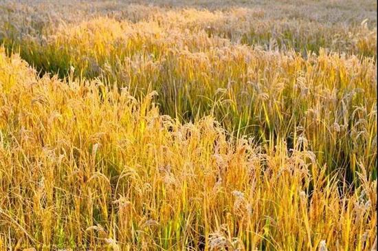 泰安隐藏了个绝美的稻田,拥揽着秋天最美风景!