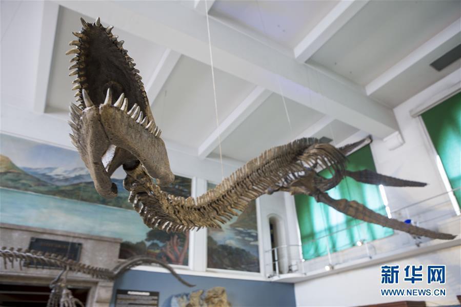 阿根廷修复罕见的蛇颈龙骨架化石