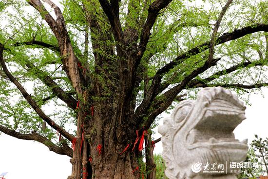 【视频】西湖镇大花崖千年古银杏树的那些故事