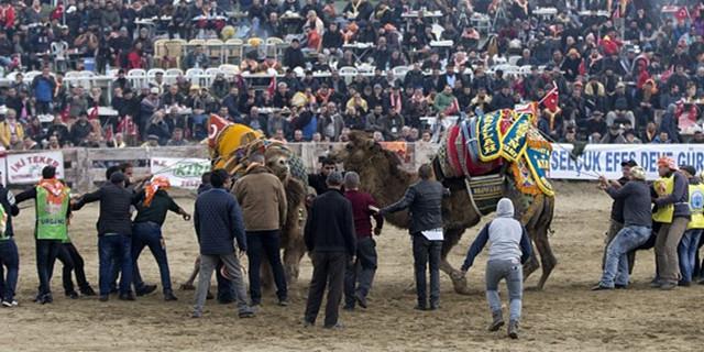 土耳其举行骆驼摔跤节现场超生猛