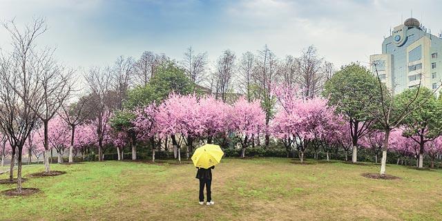 无锡美人梅盛花绽放 吸引众多游客