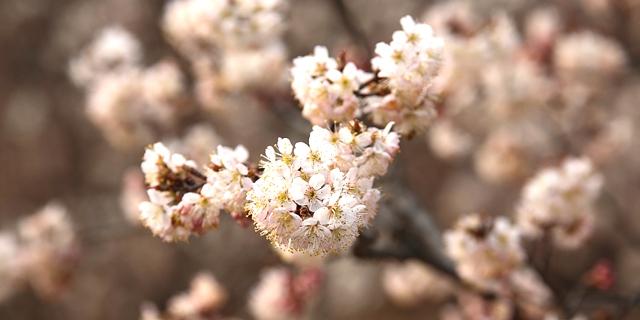 美呆了!日照千亩樱桃花迎来盛花期