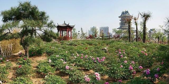 临沂园博园牡丹园限时开放 欢迎市民来园赏牡丹