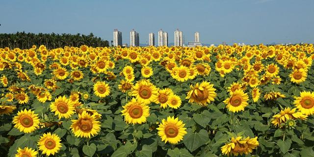 海南琼海:龙寿洋花海向日葵盛开