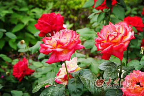 南山公园玫瑰园万株玫瑰绚丽绽放 汇成七彩花海