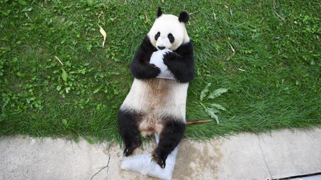 大熊猫长春开启避暑度假模式