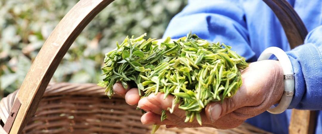 青岛头茬大田春茶正式采摘 高端有机春茶最贵卖到每斤八千(图)