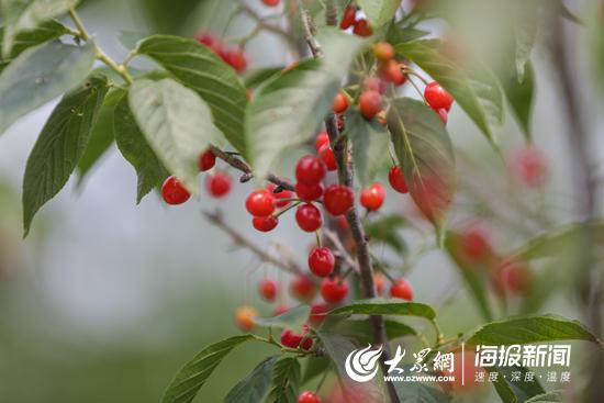 甜美多汁!大旺村的樱桃尝鲜正当时