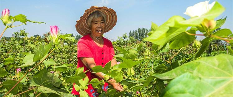 山东潍坊:处暑到  农事忙