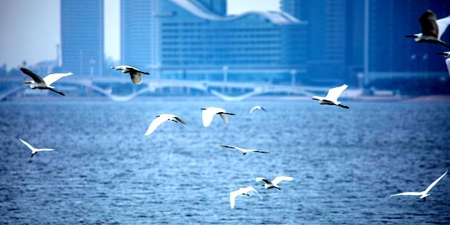 【拍客看日照】如诗如画!实拍这里白鹭和海鸥共舞!