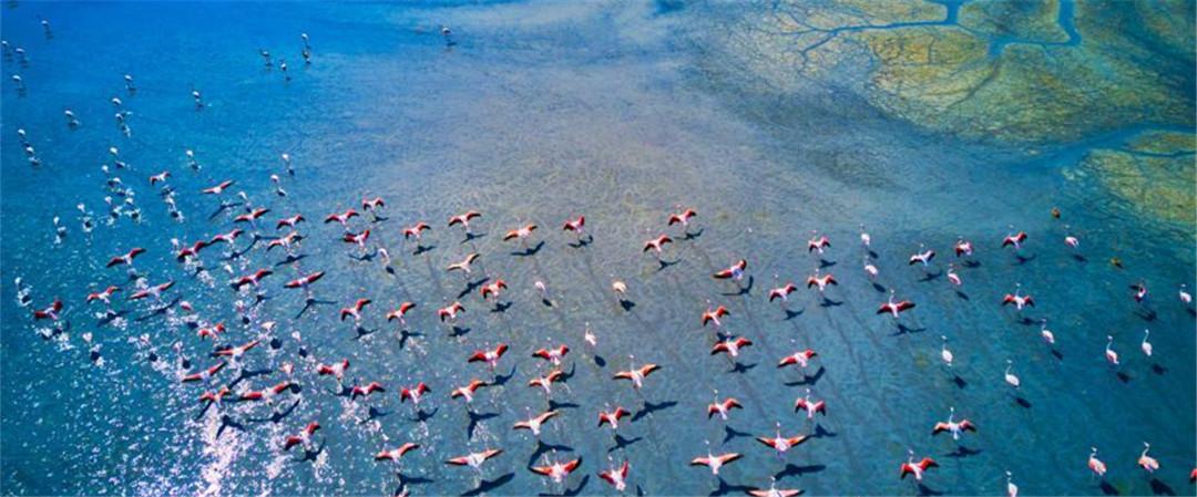 航拍大群火烈鸟集体迁徙