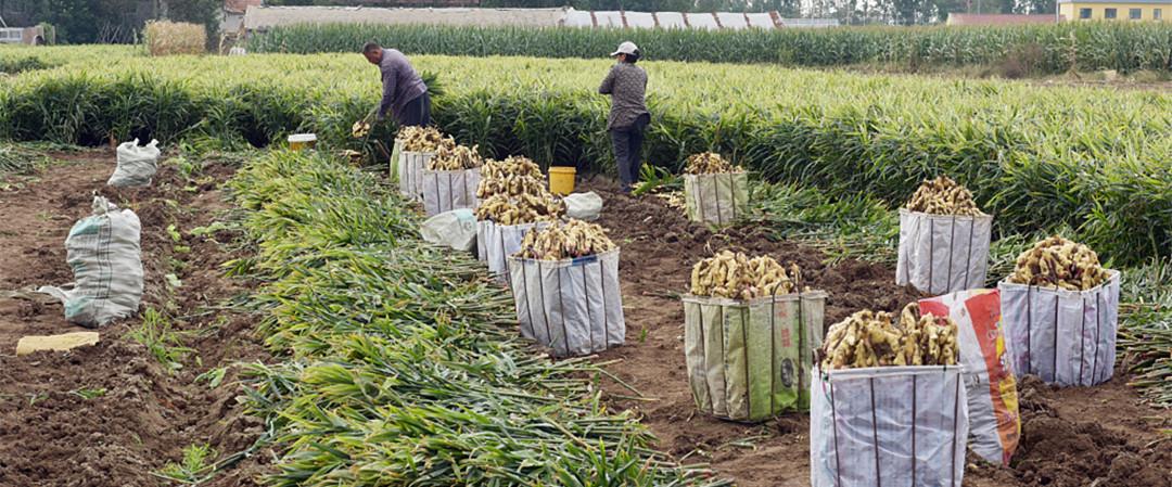 潍坊:生姜迎来丰收期 村民忙收获