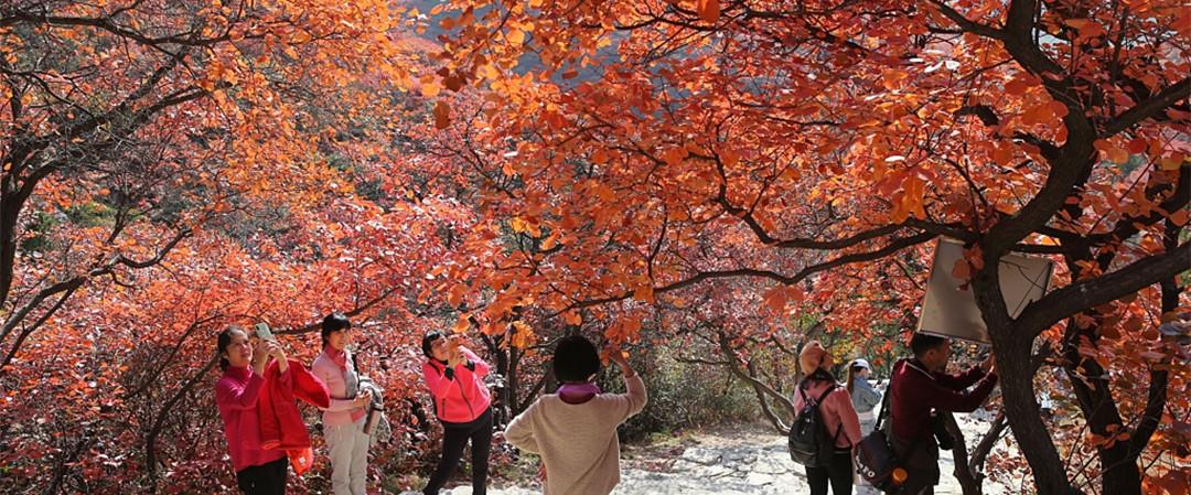 山东潍坊:树叶变红 绚丽秋景引客来