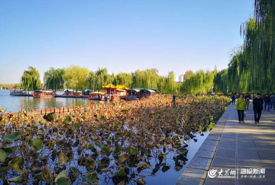 大明湖残荷满池,尽显冬韵