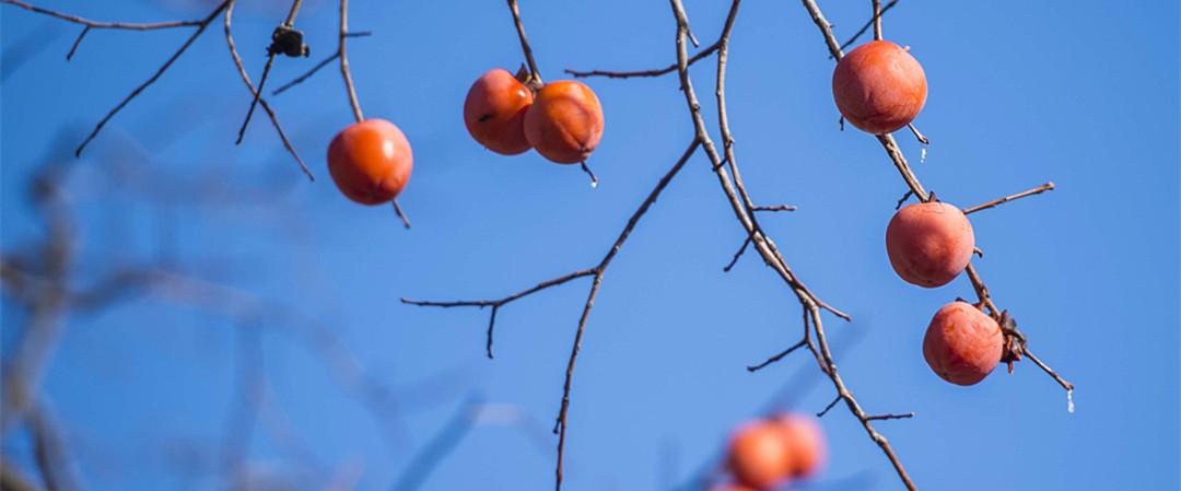 潍坊:冬日红柿染山乡 如盏盏灯笼挂枝头