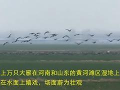 声色山东丨上万只大雁迁徙到黄河滩区
