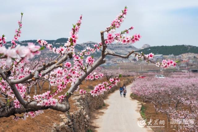 看!济南南部山区万亩桃花开正艳