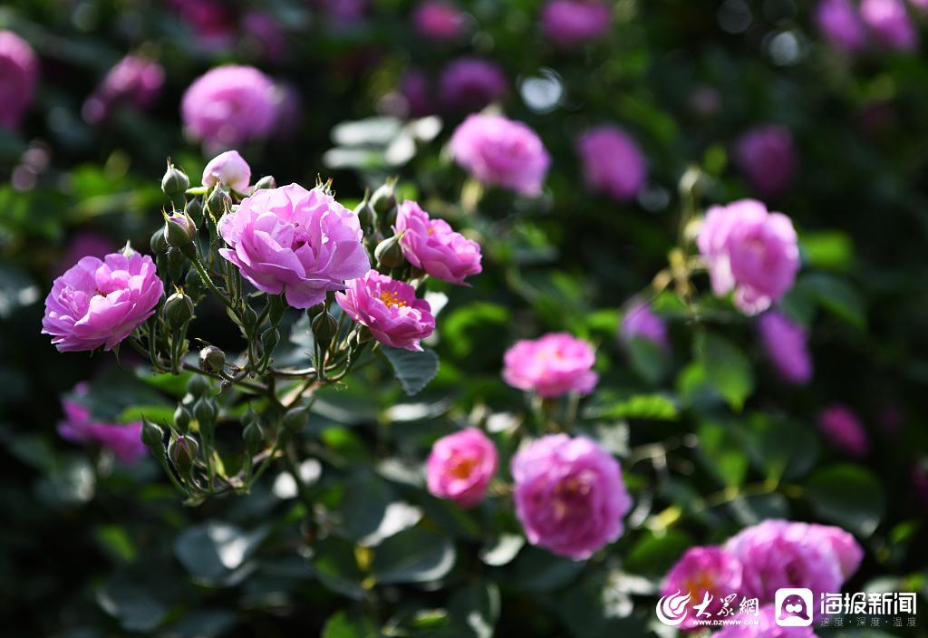 枣庄:城市公园蔷薇月季争奇斗艳