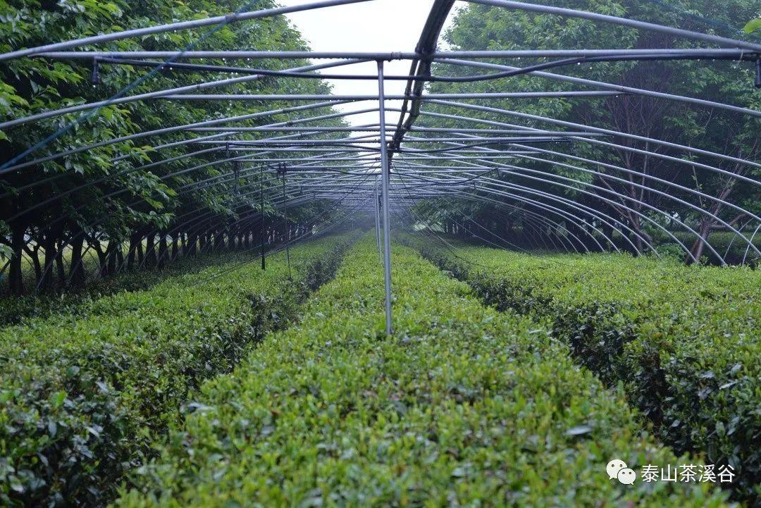 五月小记 | 春日泰山茶溪谷游