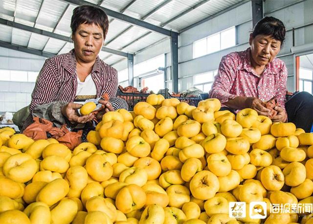 青州:桃子成熟 果农抓紧收储