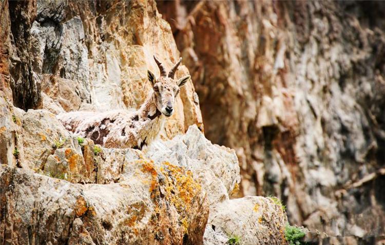 成群岩羊在三江源陡峭山地嬉戏