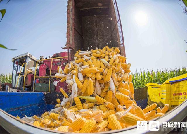 潍坊:农民丰收节里忙丰收
