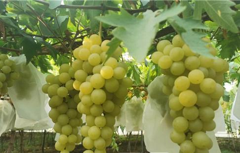 好甜!大泽山葡萄品种达300多个