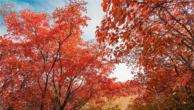 霜降未到叶先红,让人沉醉秋景中