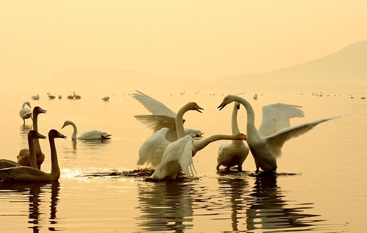 荣成:天鹅湖畔天鹅归