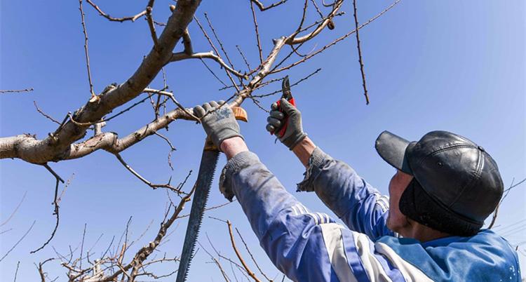 潍坊:春来果农桃园管理繁忙