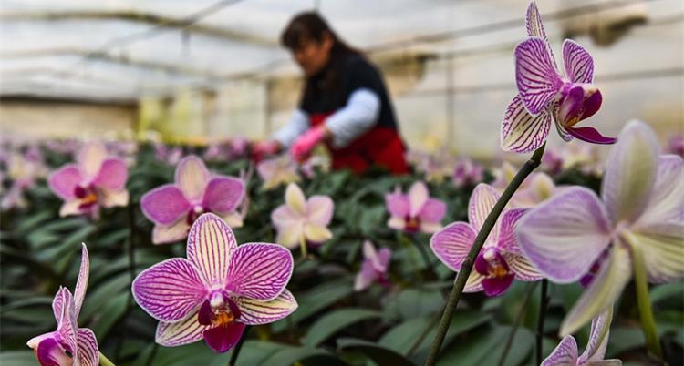 青州:早春时节 花农花棚内管理花卉