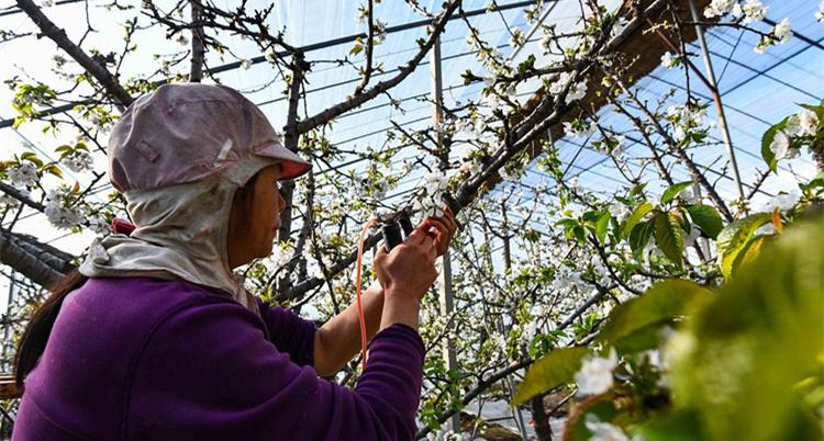 潍坊:大棚樱桃陆续开花 果农点花授粉力争好收成