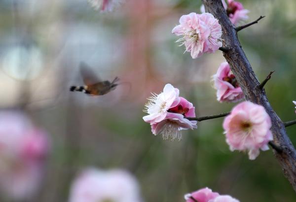 二月春意浓 桃花朵朵开