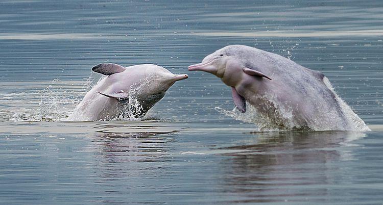 超萌中华白海豚海面翻滚跳跃