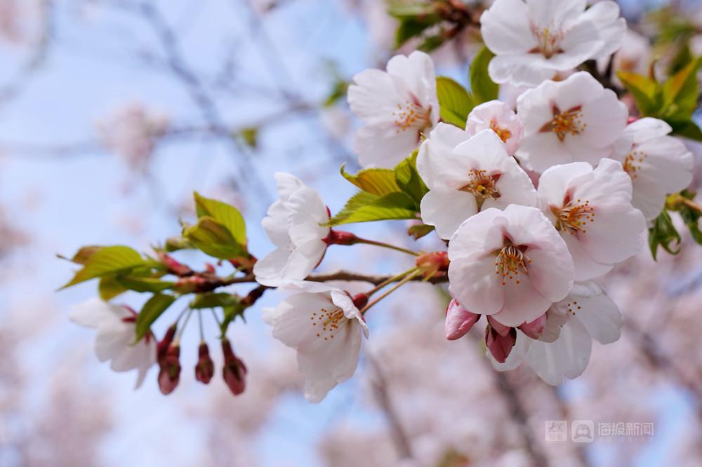 烟台这儿的樱花大道美出圈了!