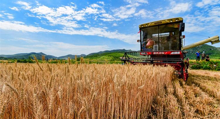 小麦进入收获期 农民趁晴好天气抢麦收