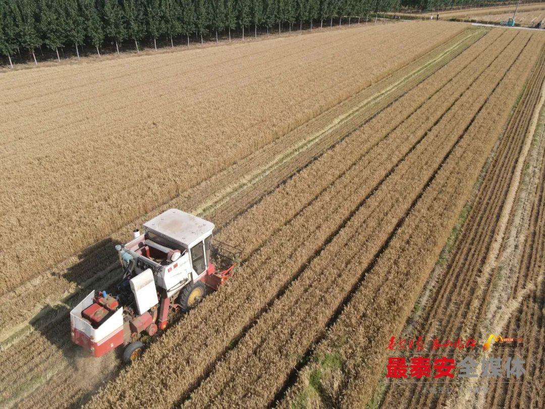 泰安市250.8万亩小麦陆续成熟收割
