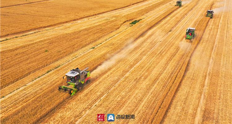 德州齐河的麦子,熟了!
