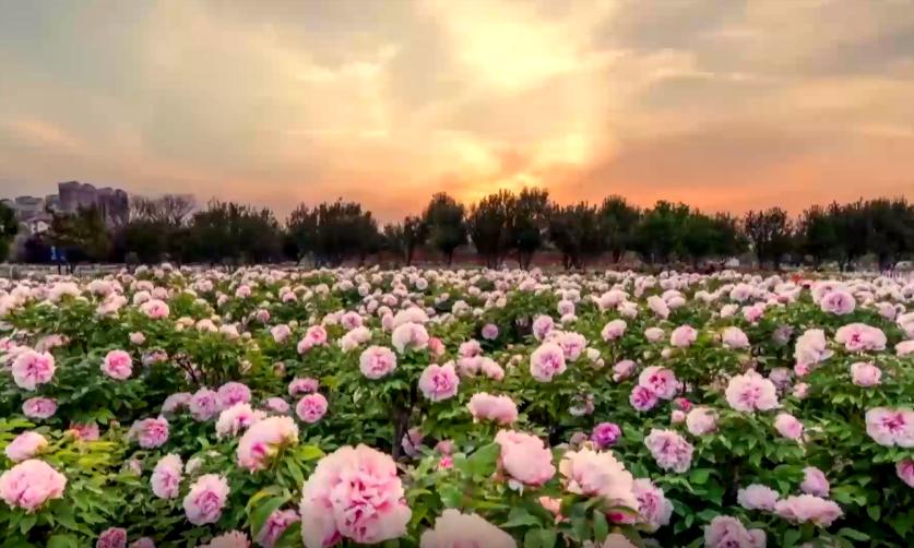 牡丹产业大讲堂|一朵花的精彩蝶变