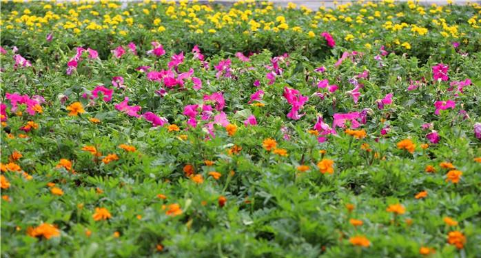 43万杯花卉绽放曹县城区 假日期间将上演灯光秀