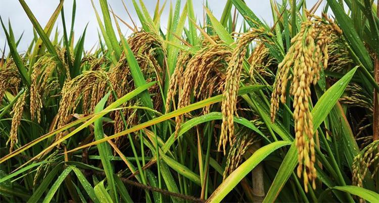 1603.9公斤!杂交水稻双季亩产创新纪录