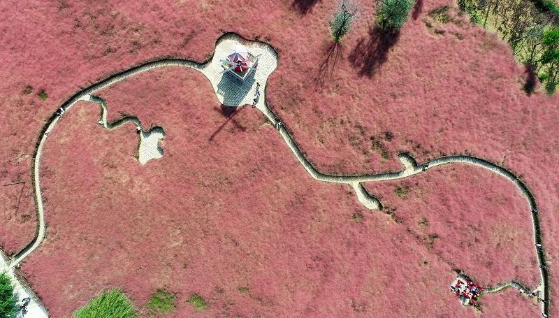 组图 | 羊亭河湿地公园粉黛乱子草花开成海