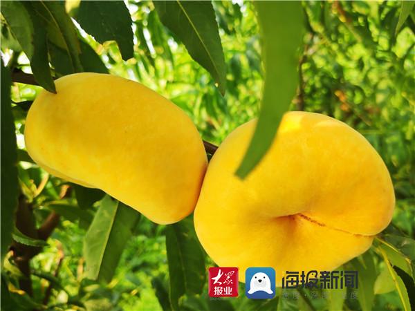 费县上冶镇东沟村:桃甜了,日子也甜了!