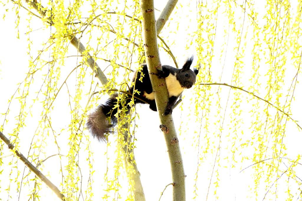 小松鼠柳树枝头觅食嬉戏