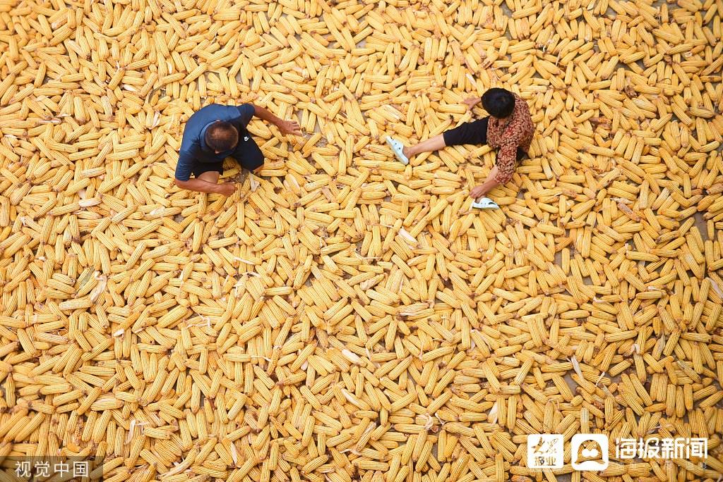 郯城:万亩春玉米喜获丰收