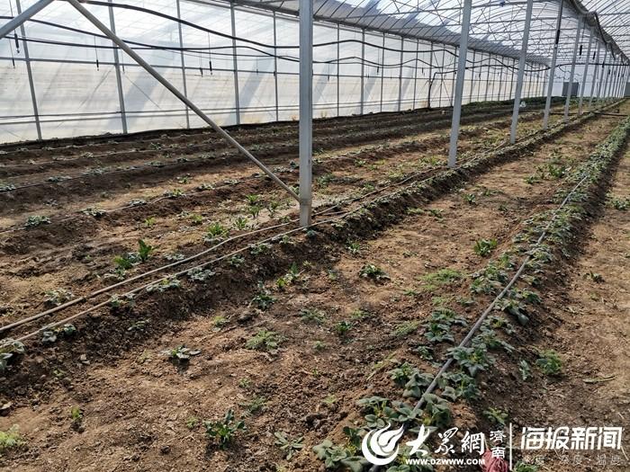 一边是长势正旺、即将成熟的大草莓,另一边农户已经开始忙着种植新一年的草莓苗了。