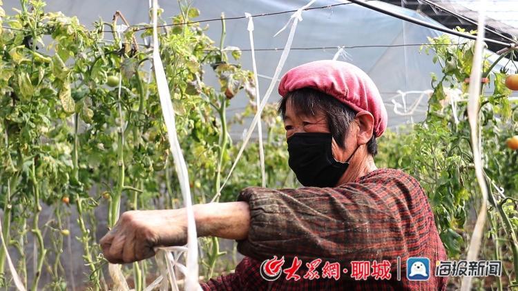 """社员为西红柿秧苗""""牵绳"""""""