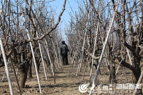 枣农观察树木的长势,给冬枣剪枝整形
